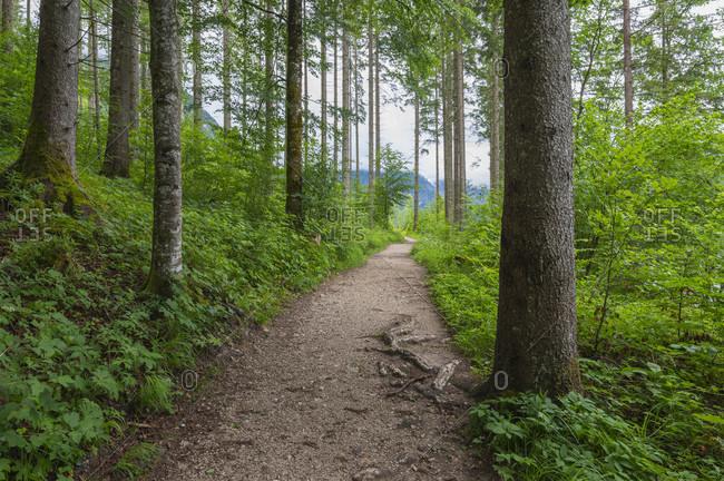Footpath in the forest in summer, lake almsee, almtal, upper austria, austria