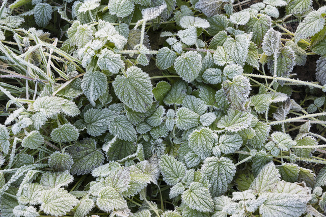 Blackberry leaves with hoarfrost in the morning