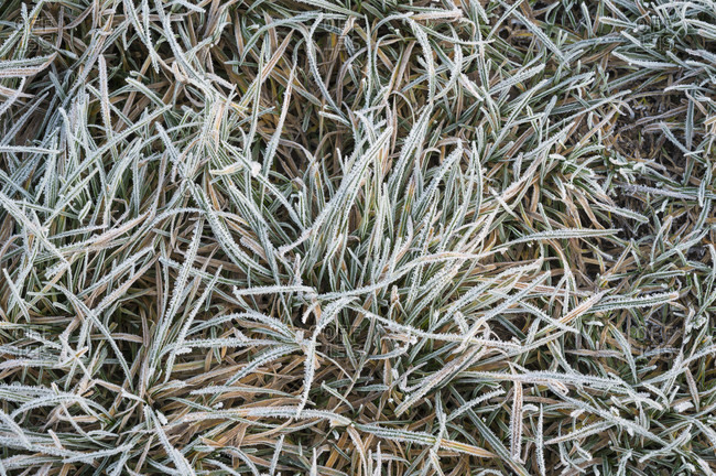 Grass with hoarfrost in the morning