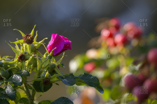 Wild rose, dog rose with dewdrops