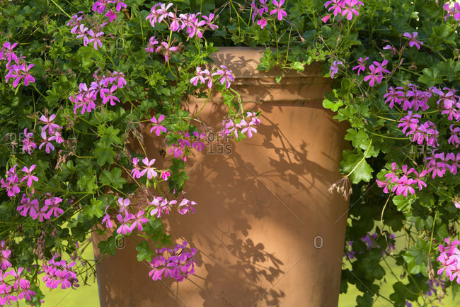 Clay pot with geraniums showing detail