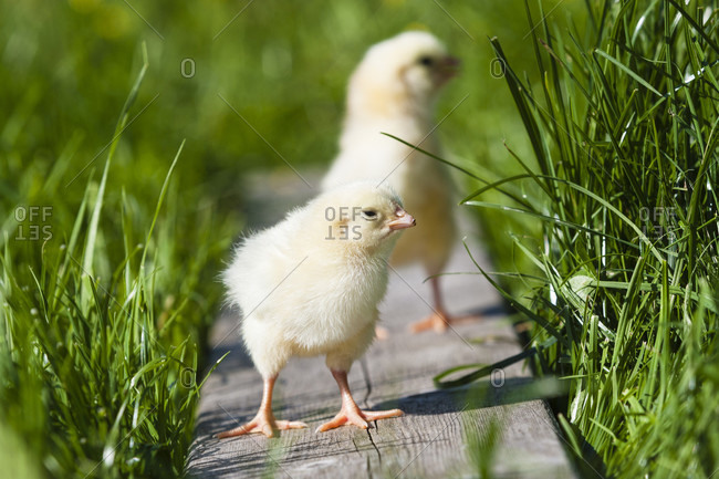 Two chicks on a wodden board in the grass