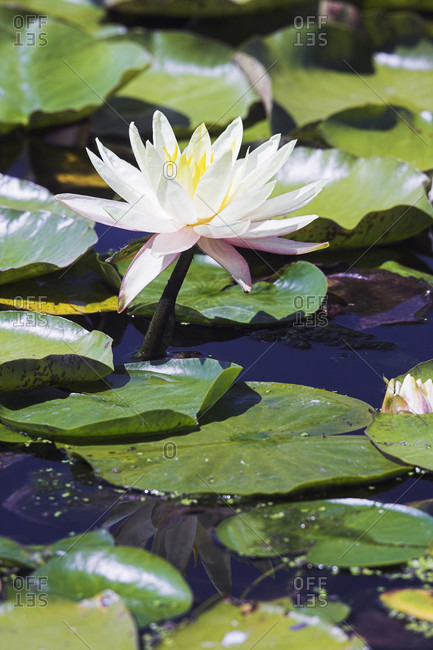 Water lily (nymphaea alba) blooming in a pond
