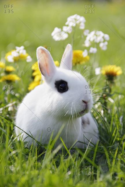 Dwarf rabbit in grass, spring