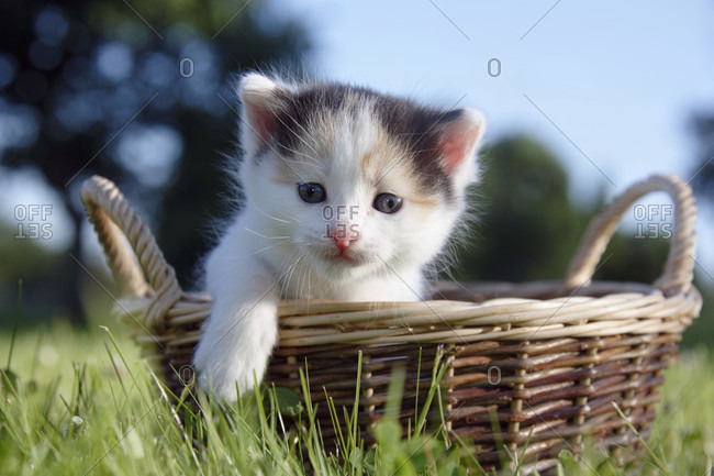 Young house cat in a basket on lawn, low angle