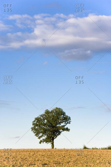 Oak tree on a plowed field against a blue sky with cloud