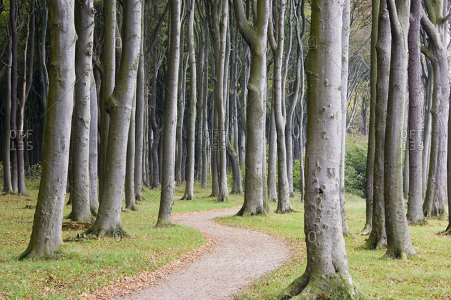 Path throuhg a beech forest (ghost forest) on the baltic coast, autumn