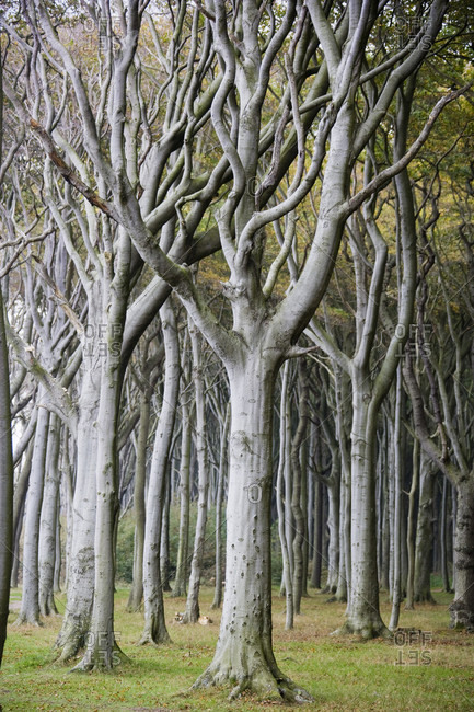 Beech forest (ghost forest) on the baltic coast, autumn