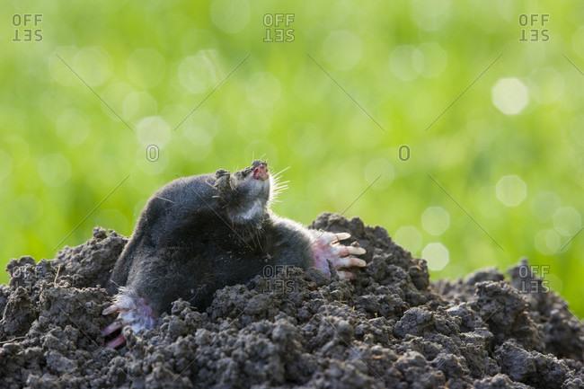 Mole (talpa europaea) emerging from mole heap in meadow