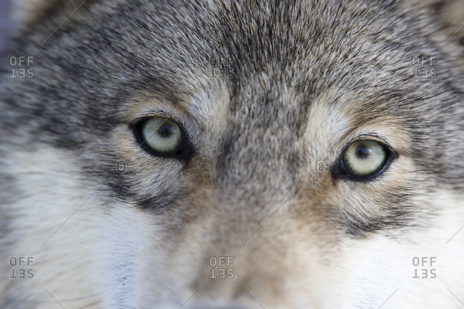 Eyes of the gray or timber wolf (canis lupus), close-up
