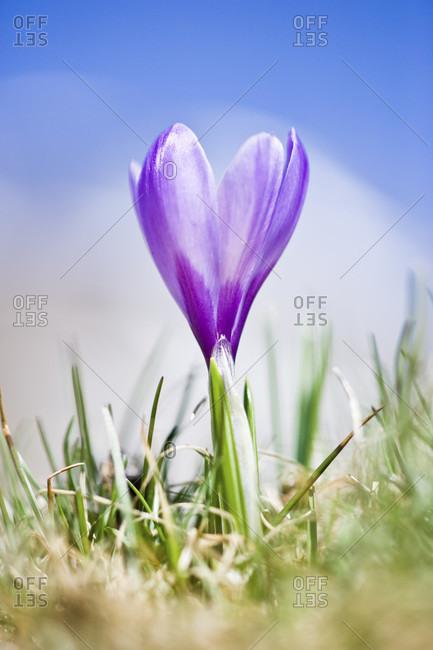 Violet crocus (crocus neapolitanus) in bloom on alpine meadow