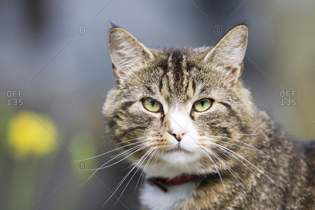 Domestic cat (male) in the garden, is wearing a collar, portrait