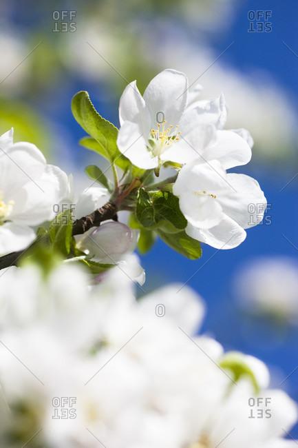 Apple blossoms under blue sky, close-up, spring