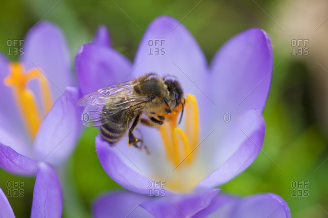 Crocus flowers and honey bee, close-up