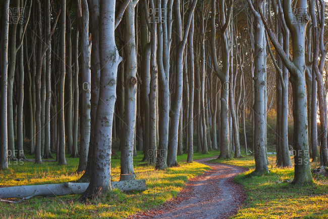Path through a beech forest (ghost forest) on the baltic coast, autumn