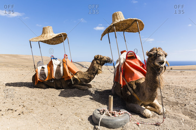 Two camels with huge straw hats above the saddle for shade waiting for tourists