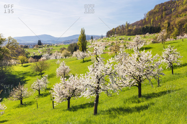 Blooming cherry trees on pasture land