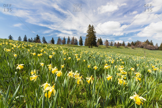 Botanical yellow (wild) daffodil (narcissus pseudonarcissus) on an alpine meadow by evergreen trees in the background