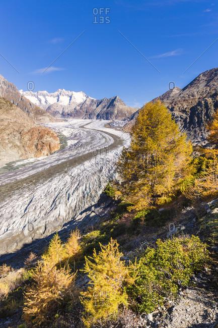 Colorful larch trees at the aletsch glacier, jungfrau region, unesco world heritage region, autumn