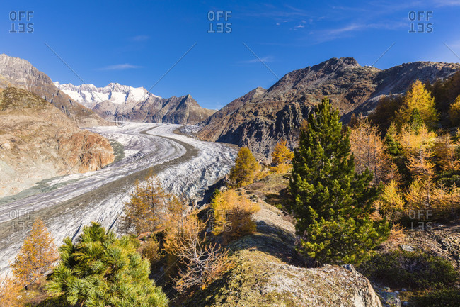 Colorful larch trees at the aletsch glacier, jungfrau region, unesco world heritage region, autumn