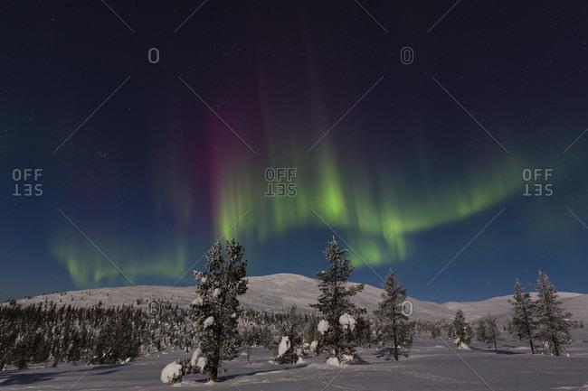 Northern lights or auroa borealis among fir trees in the winter landscape of pallastunturi fell, pallas yllaestunturi nationalpark