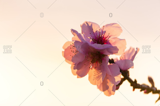 Almond blossoms at sunrise. prunus amygdalus