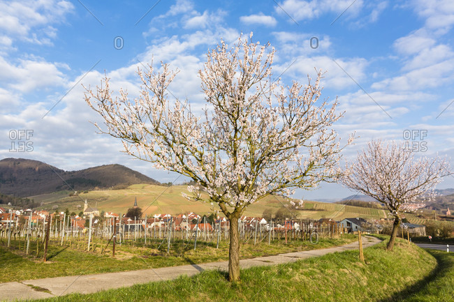 Blossoming almond tree (prunus dulcis) in front of a little village