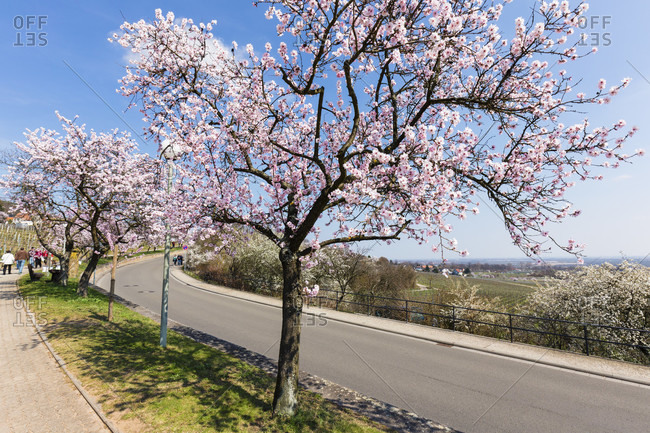 Row of blooming almond trees lining a walking path with people on beside a road