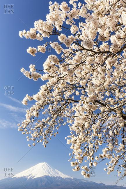 Blooming cherry tree at lake kawaguchi in front of mount fuji