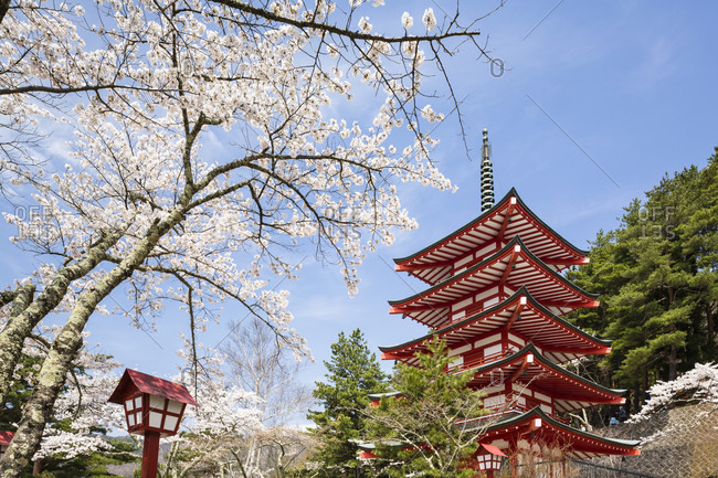 Blooming cherry trees in front of the chureito pagoda on the fujiyoshida hills, close-up