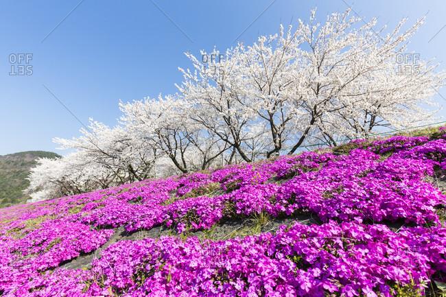 Blooming moss phlox (phlox subulata) and cherry trees