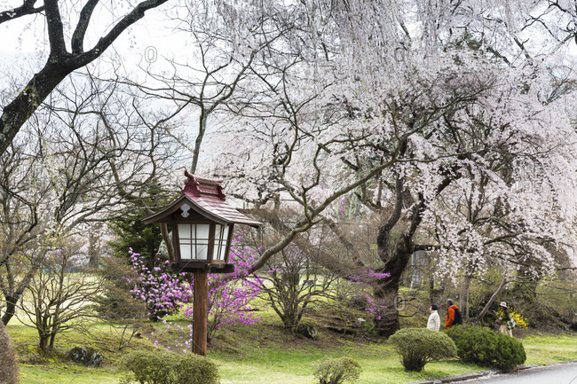April 17, 2015: Blooming weeping cherry trees at famous luxury fuji-view hotel