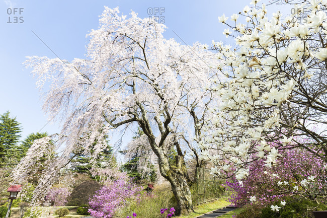 Blooming weeping cherry trees at famous luxury fuji-view hotel