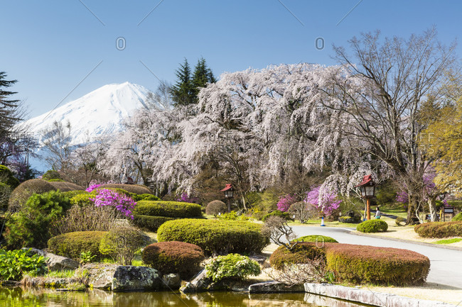Blooming weeping cherry trees in a garden in front of mount fuji at famous luxury fuji-view hotel