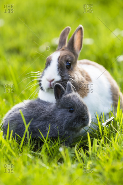Dwarf rabbit with youngsters on grass, backlit, captive