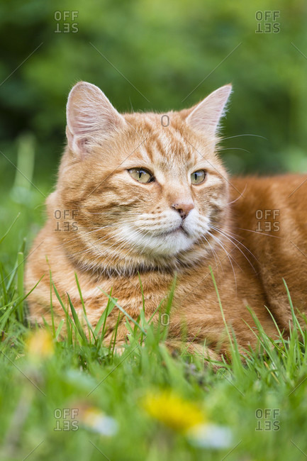 Male house cat, reddish collour, is laying on grass, portrait
