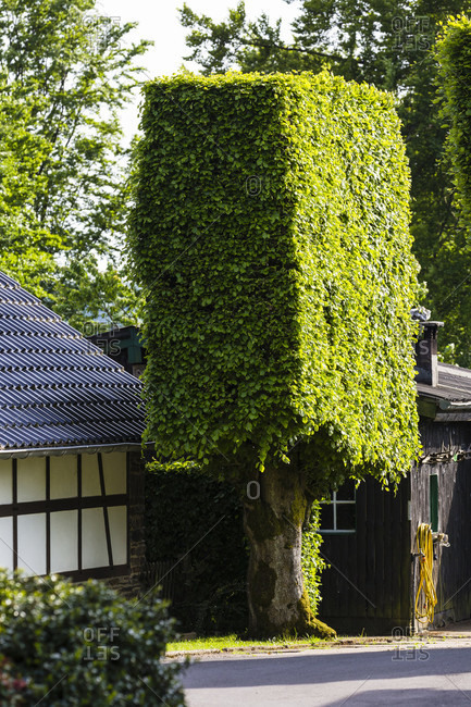 Short beechwood hedge by a house, heckenland, entrance to the eifel national park (nationalpark-tor)