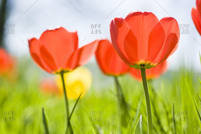 Orange tulips in bloom with a beautiful background