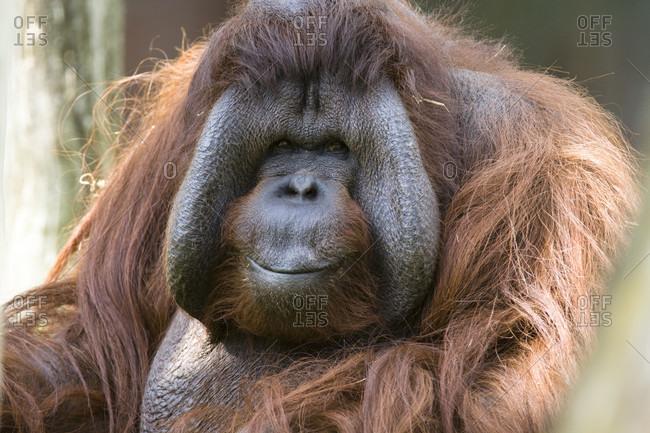 Male orang utan (pongo pygmaeus), portrait, captive
