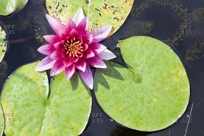 Pink water lily (nymphaea alba) in a pond, high angle view