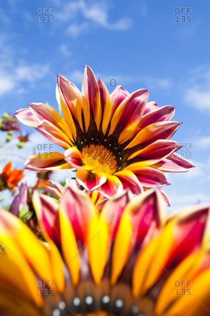Gazania flower, family asteraceae, low angle against the blue sky
