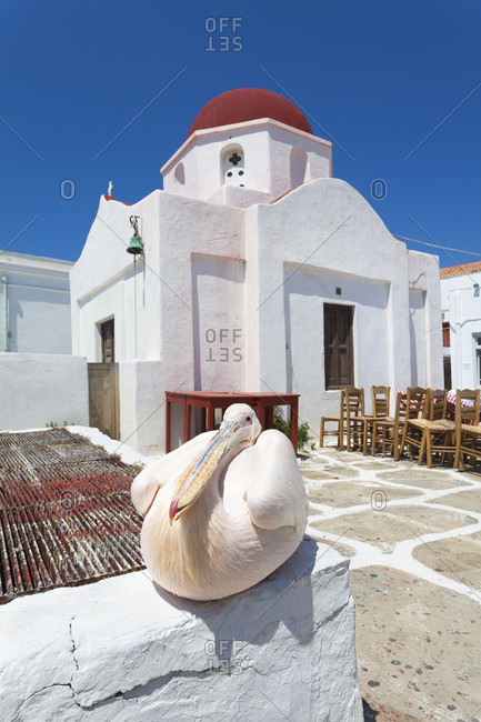 Famous white pelican (pelecanus onocrotalus) known as petros ii. resting by a church