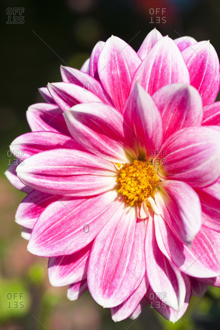 Pink dahlia flower (water lily flowering) 'sam hopkins', asteraceae