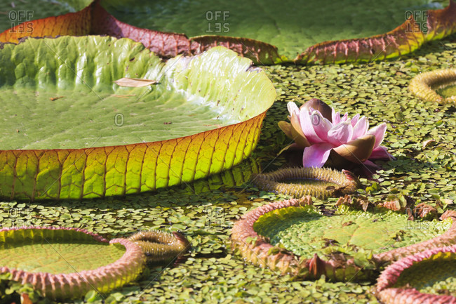 Victoria amazonica (giant water lily) leaves, close-up, botanic garden