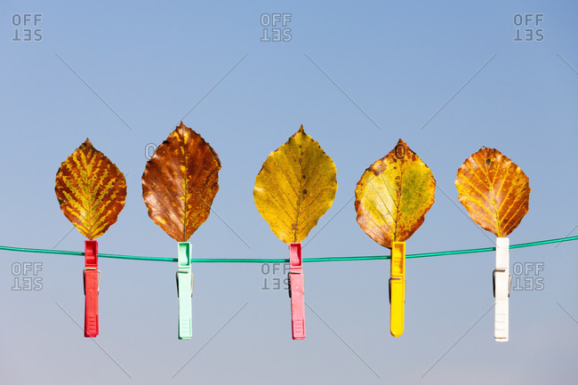 Beech leaves with cloth pins on a clothesline against blue sky