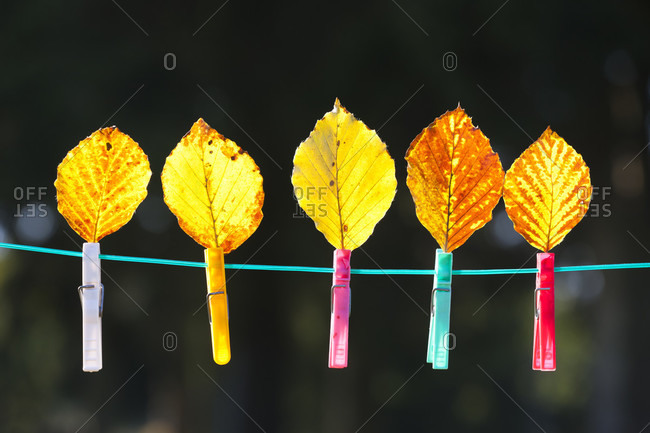 Beech leaves with cloth pins on a clothesline against a dark background
