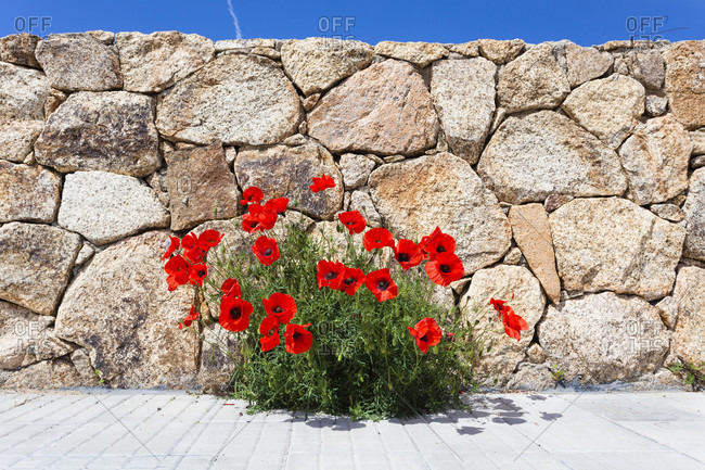 Red poppy flower (papaver) blooming in front of a stone wall
