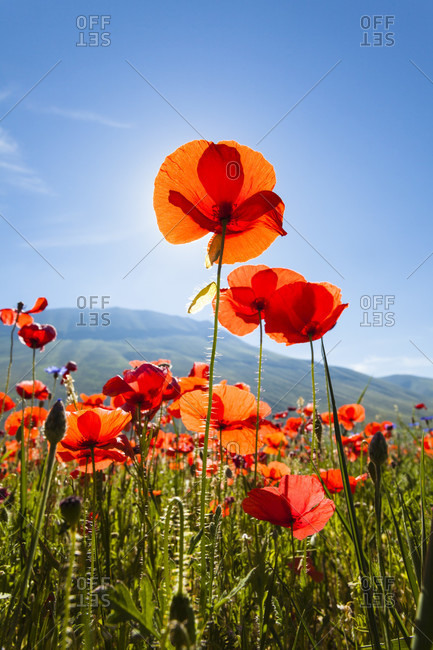 Agricultural land filled with poppies (papaver rhoeas) on the piano grande, backlit flowers