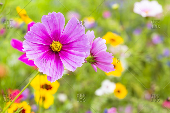 Wild flower garden, pink cosmos flower and rudbeckia flowers among others