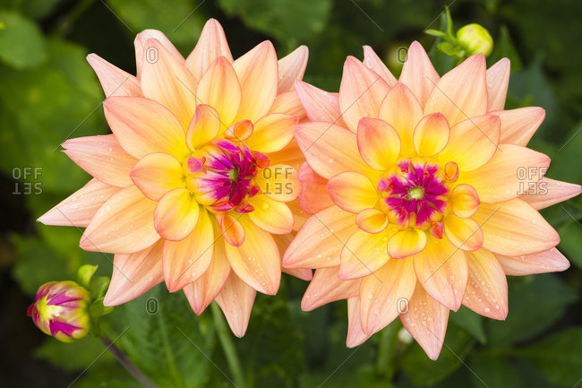 Two dahlia flowers and bud, 'melody dora', close-up